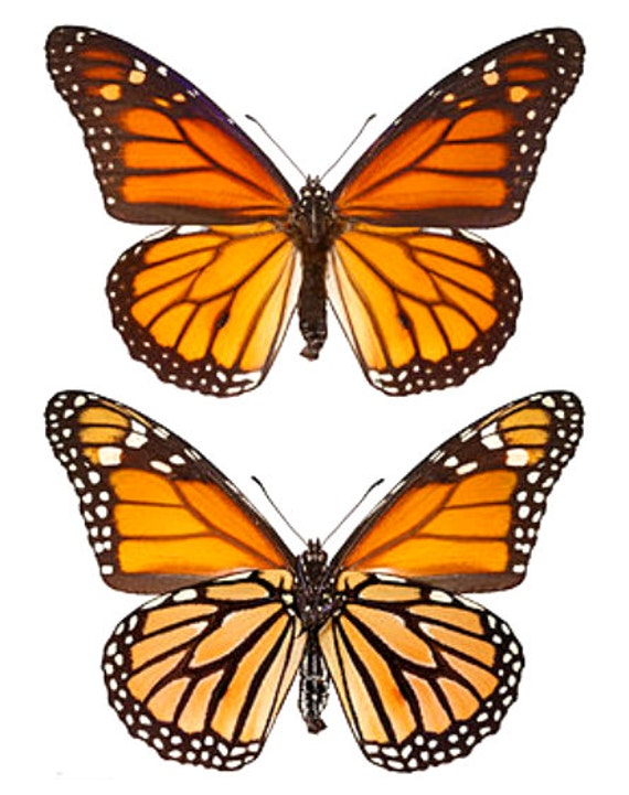Supplies for your artworks - dried insects - : 10 danaus plexippus , monarch butterfly , nymphalidae ,UNMOUNTED A1 quality, FREE SHIPPING