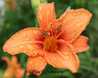 Tiger Lily after the rain