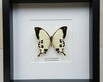 African Swallowtail Butterfly Frame