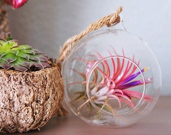 Tillandsia ionantha fuego, red air plant - red air plant - indoor outdoor garden/house plant colorful red/terrarium accessories