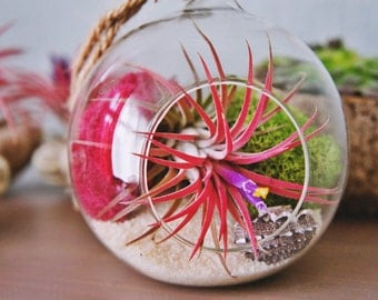 Tillandsia ionantha fuego in a glass dome kits, red air plant- indoor outdoor garden/house plant colorful red/terrarium accessories