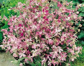 Evening Stock 1870 seeds/Mathiola seeds/Night-Scented Stock seeds/1,5 g/gardening flower seeds/annual flower seeds/ best before 2021