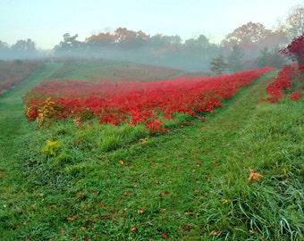 "Red Fog Field of Sumac, Fog Landscape, Sumac Photo, Red Decor, Green Decor, Fall Decor, Autumn Landscape, Green Hilly Landscape ""Red Fog"""