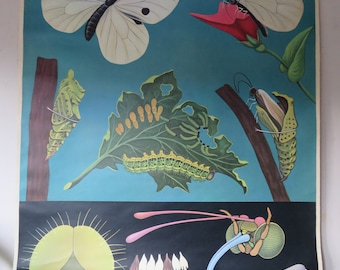 Original Vintage zoological Jung Koch, Quentell roll down pull down school wall chart of a cabbage white butterfly.