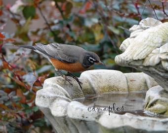 American Robin Photo, Wildlife Print, Wildlife Photography, Spring Robin, Robin Bird Photo