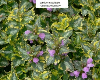 LIVE evergreen ground cover Lamium maculatum very cold hardy broad leaf  (-39.9 C (-40 F))