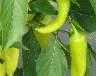 Homegrown Sweet Banana Pepper Seeds - Free Shipping
