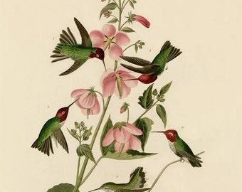 Birds of America by John James Audubon, Columbian Hummingbird, c. 1827,  Museum quality, Giclee Art Print