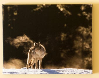 Yellowstone Coyote in the Mist on Canvas.  11 X 14 ""