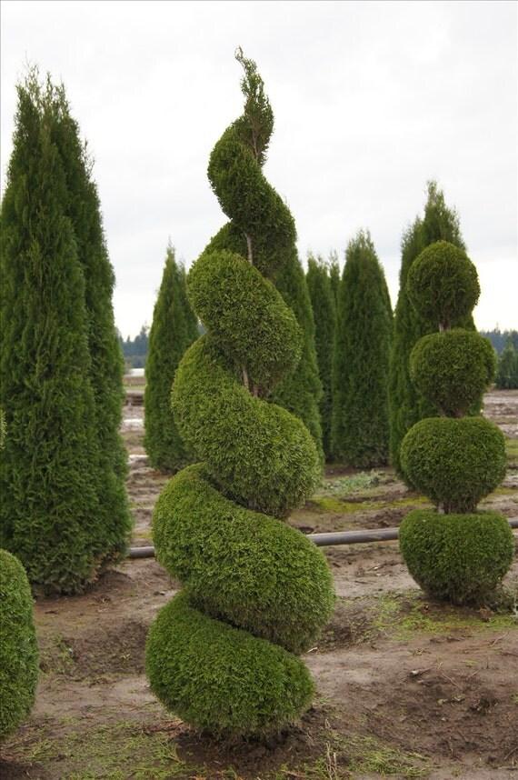 25 emerald green arborvitae 3 pot thuja occidentalis. Black Bedroom Furniture Sets. Home Design Ideas