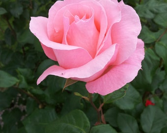 Rose light pink