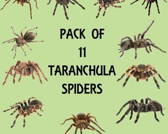 Taranchula Spider Transparent Overlays, High Resolution, Instant Download.
