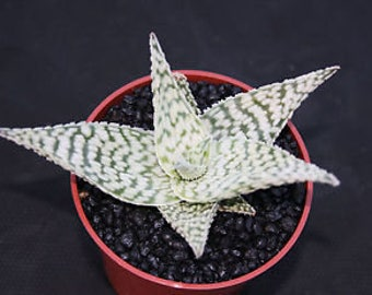 """Aloe """"Delta Lights"""" - Rare Hybrid Aloe Succulent - Not Succulents Cuttings, Offshoots and Established available - Produce lots of pups !"""