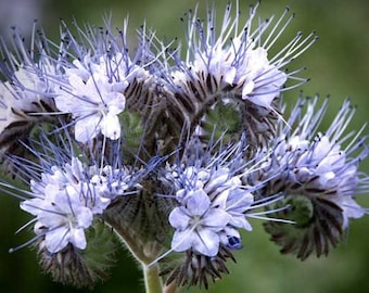 Phacelia tanacetifolia Lacy Blue Violet Tansy Flower Bee's Friend 500 Seeds #2016
