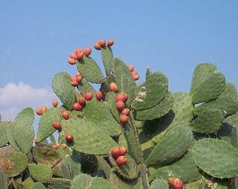 Opuntia ficus indica (Indian fig cactus) / 20 fresh seeds