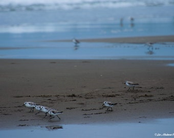 California Sandpiper Dance