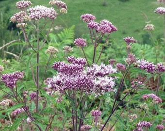 Seeds of eupatoire chanvrine - Eupatorium cannabinum
