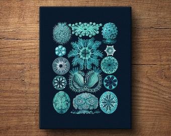 Ernst Haeckel print, Canvas – Scientific illustration, Canvas prints, Nautical prints, Beach art, Vintage art, Print on canvas, Haeckel