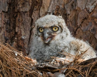 Owl Baby Print, Great Horned Owlet, Owl Photography, Great Horned Owlet
