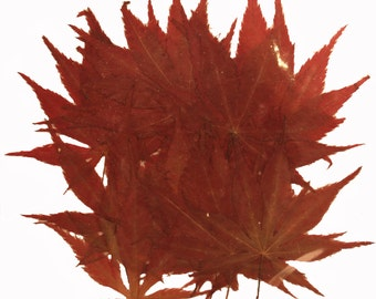 Pressed maple leaves 20pcs for art craft, card making, scrapbooking material