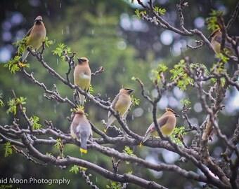 Cedar Waxwings in the rain