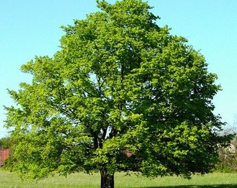 Red maple trees 1 to 3 foot bare root stock/ up to 40% off your total order