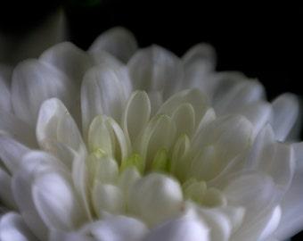 """Beautiful White and Yellow Chrysanthemum Flower """"Hidden Heart"""" Original Photo Print, Amazing Wall Art."""