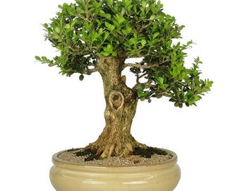 Bonsai Tree Buxus 26 years