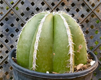 Mexican Fence Post Cactus-Succulent