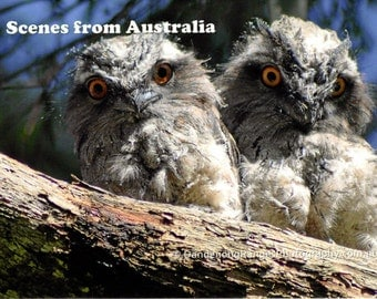 Tawny Frogmouth Babies