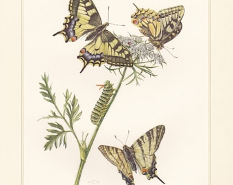 Vintage lithograph of scarce swallowtail, old world swallowtail, swallowtail butterflies from 1956