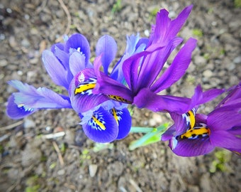blue and purple iris
