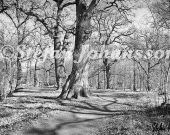 Oak park, Gräfsnäs, Västergötland, Sweden. Meditative landscape photography. Black and white. Fine art print.