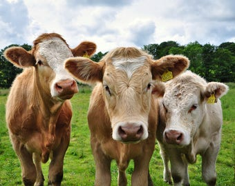 Cows, Scotland, animals, nature, countryside, cattle