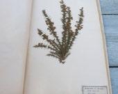 Antique 1887/1889 French herbarium Ulex Manus