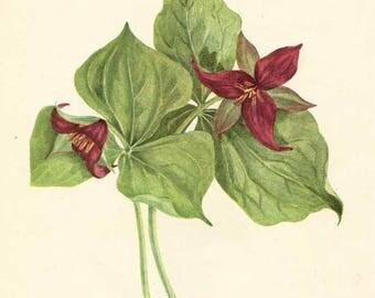 Vintage 1953 Purple Trillium Botanical, Floral Print for Framing, American Wildflower, Woodlands Plant