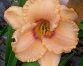 Daylily Plant - Muskmelon (S-801)