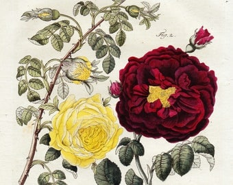 Rose Antique Bertuch Print original vintage engraving plate  dated 1808