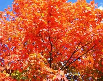8 Unrooted Live Sugar Maple Cuttings 8 to 12 inches tall, Qty 8, Beautiful Red Fall Foliage, Deer resistant, Mature height more than 20 feet