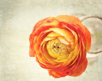 Ranunculus Wall Art - Shabby Chic Art Print - Flower Photography