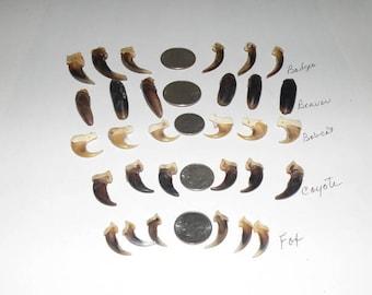 30 assorted claws fox coyote bobcat beaver badger  DESTASH