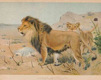 1901 Animal Print - African Lions Color Illustration from The Child's History of Animals / Antique book page for Framing