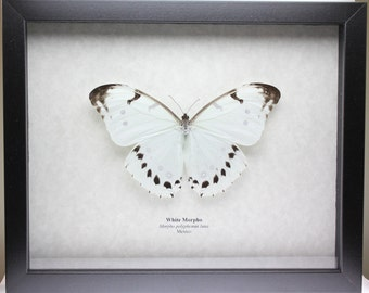 Real White Morpho Butterfly framed butterfly bug insect Morpho polyphemus luna