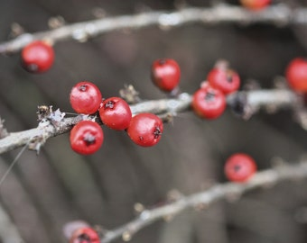 Red berries photo, red berries canvas, red berries print, Christmas photo, holiday print, red and gray