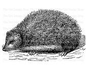 Hedgehog Clip Art Vintage Animal Illustration Printable Digital Download PNG JPG Image