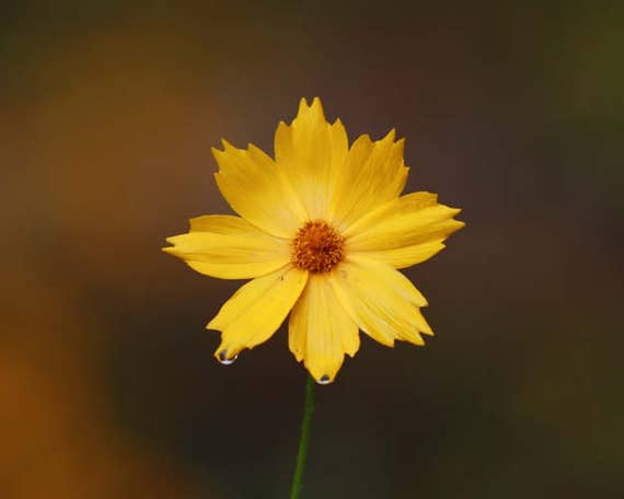 Botanical Wall Decor, Yellow Flower Art, Floral Home Decor, Coreopsis Print, Mothers Day Gift, Nature Picture, Yellow and Brown Print