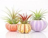 Air Plant Terrarium Kit - 3 Tillandsia Air Plants + 3 Sea Urchin Shell + Gift Box * Genuine Sea Shell Planters. Air plant holder Planter Set