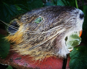 CLEARANCE SALE- Mummified Nutria Head with Crystal Accents