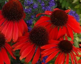 PBCO) SALSA RED Coneflower~Seeds!!!!~~~~~~Large, Deep Red Blooms!!