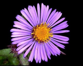 AAS)~NEW ENGLAND Aster~Seeds!~~~~~~Lavender Perennial!